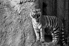 Tiger (hero198406) Tags: animal japan photo pentax explore k5 ringexcellence dblringexcellence eltringexcellence