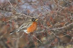American Robin (Daniel Behm Photography) Tags: winter snow tree bird robin americanrobin behm danielbehm