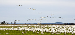we are coming (SusanCK) Tags: geese snowgeese skagitvalleywashington susancksphoto