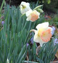 Narcissus SHOWCASE (J. Shejbal) Tags: showcase narcissus
