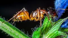 Sugar Ant on Meadow Sage (S. pratensis) (ScreaminScott) Tags: macro bug insect ant sugarant camponotusconsobrinus lesterdineringpointlight lesterdine105mmf28mfmacrolens