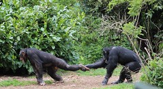 Pull The Other One (mlomax1) Tags: nature pull zoo chimp wildlife leg chester ape chimpanzee chesterzoo
