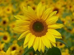 Per te.. (libra1054) Tags: flowers flores yellow jaune blumen amarillo giallo sunflower fiori girasole tournesol girasol