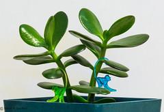 The Monkeys of Zen (Switzer-Land Studios) Tags: blue white plant macro green monkey 100mm tokina soil cocktail earthy jade zen speedlight d7100