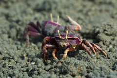Female purple Fiddler Crab from West africa filtering sand (Dave Montreuil) Tags: africa wild west male beach nature animal female mouth sand hand purple arm natural wildlife balls crab feeder uca flats filter claw gambia environment marsh senegal mangroves crustacean setting bigger fiddler larger filtering ocypodidae detritivore