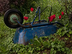 ROSES ARE RED BARROWS ARE BLUE (cdn.slacker) Tags: blue red roses art wet rose digital canon photo picture photograph fart violets wheelbarrow rosesarered g15 canong15 cdnslacker g15specifications