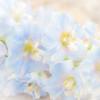 pale and faded delphiniums (photoart33) Tags: blue summer flower art square soft pretty pastel blurred pale delphinium persephonesgarden