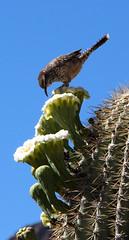 Cactus Wren Feeding in Saguaro Flower (ksblack99) Tags: boycethompsonarboretum superior arizona garden arboretum cactuswren saguaro cactus flower