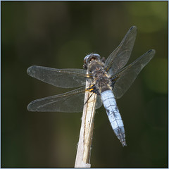 Male Scarce Chaser (image 3 of 3) (Full Moon Images) Tags: macro male nature insect dragonfly wildlife bcn reserve national trust fen cambridgeshire chaser scarce woodwalton nnr greatfen greatfenproject