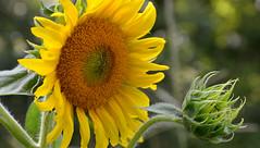 Speak to me, Lila! Speak to me! (BKHagar *Kim*) Tags: flower green nature floral yellow al blossom alabama sunflower bloom tanner dads momdads bkhagar