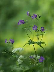 Rêve éveillé ****- °°° (Titole) Tags: géraniumdesprés wildflowers purple shallowdof titole nicolefaton green thechallengefactory unanimouswinner twothumbsup friendlychallenges storybookwinner herowinner challengeyouwinner cyunanimous