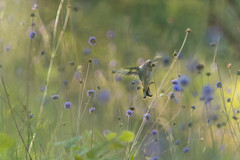 Chardonneret lgant (Richard Holding) Tags: cardueliscarduelis bird chardonneret eure goldfinch normandie oiseau