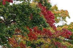 Vrviline vaher (Jaan Keinaste) Tags: pentax k3 pentaxk3 eesti estonia loodus nature vaher vrviline color maple punane red