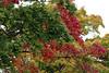 Värviline vaher (Jaan Keinaste) Tags: pentax k3 pentaxk3 eesti estonia loodus nature vaher värviline color maple punane red