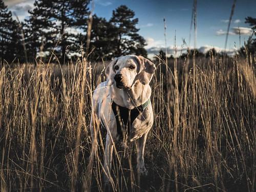 This #evening Oskar was not on the mood to look into the camera.  #dog #dogsofinstagram #dog🐶 #nature #outdoor #hot #grasland #buddy   #Olympus #omd #olympusomd #omdem10mkii #olympus17mm   #instafollowers #indtagood #iotd #indtalike #instafollowme
