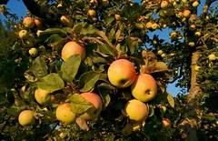 Apfelzeit (mellane.karin) Tags: apfel apfelbaum apfelzeit apple pomme herbst obsternte