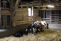 Cozy together in the stable. ( Corry ) Tags: animals cows stable farm