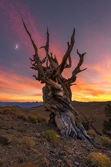 The Ancient One (David Colombo Photography) Tags: bristleconepine sunset pine tree moon crescent highaltitude orange purple yellow vibrant color outdoor landscape nikon d800 davidcolombo davidcolombophotography nationalforest schulmangrove