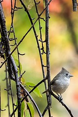Oak Titmouse 2 (Brown Acres Mark) Tags: oak titmouse rain jackson county oregon fall color