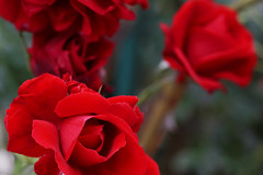 red rules (kinaaction) Tags: roses red flower flora colour nature sonyilce6000 beauty beautyofnature