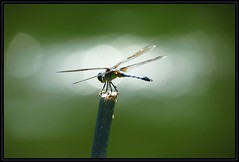 IMG_0046 Like a Dragonfly in the Headlights 8-18-16 (arkansas traveler) Tags: dragonfly bluedasher insects bichos bugs zoom telepohoto backlit backlighting nature naturewatcher natureartphotography bokeh bokehlicious