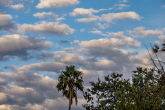 Palm tree and clouds (randyherring) Tags: ca california palm nature sanjose sky outdoor evening clouds unitedstates us