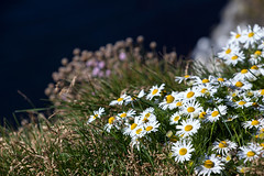 Daisies _4934 (hkoons) Tags: latrabjargcliffs westfiords westfjords iceland latrabjarg bay birds bloom blooms blossom blossoms cliff feathers fiord fjord flight flora flower flowers fly inlet island nest nests north peninsula saltwater sea seabirds water wildflower wildflowers wings