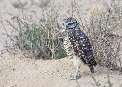Burrowing Owl (Athene cunicularia); Los Lunas, NM [Lou Feltz] (deserttoad) Tags: nature newmexico bird wildbird wildlife raptor owl desert behavior