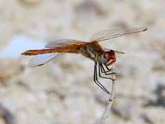 Sympetrum fonscolombii, Red-veined Darter (amantedar) Tags: insect animal fauna dragonfly darter redveineddarter sympetrumfonscolombii