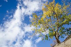 Autumn (Esmaeel Bagherian) Tags: autumn tree yellow esmaeelbagherian اسماعیلباقریان ایران پاییز درخت زرد آسمان ابر 2016 1395 خزان fall nikon nikond7000 18105mm