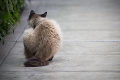 _MG_1418 (franztomandl) Tags: cat cats kitten beautiful pet siames gato gatos pool piscina walking blue eyes ojos azules