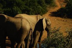 DSC03788 (Emily Hanley Photography) Tags: elephant elephants addo elephantpark nationalpark sa southafrica africa photography colour warthogs buffalo zebra waterhole rawimages raw nature naturalphotography animals animal