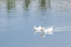 DSC_5353i (joseluispallares) Tags: 1855mm patos duck chihuahua presa el rejon