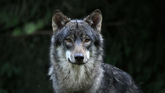 The Smile (Nephentes Phinena ☮) Tags: eurasiangreywolf eurasischergrauwolf europäischergrauwolf europeangreywolf grauwolf greywolf nikond300s wildparkeekholt wolf