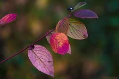 Fall Color... (S.S82) Tags: tudorgrangepark autumn england winter cloudy falls foliage randomclicks park westmidlands solihull uk ss82 color murky overcast statepark unitedkingdom