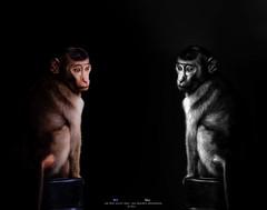 Colour And  Black And White (Ah Wei (Lung Wei)) Tags: blackandwhite monochrome monkeys portrait animals nikon nikond7000 nikon80200mmf28 ahweilungwei taiping perak malaysia my