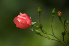 Roses in Autumn (paulapics2) Tags: green pink rose rosa fleur floral flora blumen bud rosebud shrubrose garden nature canoneos5dmarkiii canonef70300mm petals budding