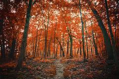 La Foresta Rossa (Anthonypresley1) Tags: nature landscape red forest wood sun orange yellow leaf leaves tree trees anthony presley anthonypresley old retro vintage
