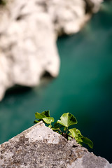 Green On Turquoise (ralfrings) Tags: bokeh bright chalk closeup depthoffield green growing hugging kobarit leaf napoleonovmostčezsočo slovenia sunlight turqouise turqouiseriver wall water whitestone