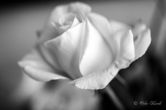 BW White Rose-0971 (Orkakorak) Tags: roses whit red bw