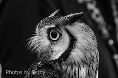 DSC_1713_edited-3 bws (Photos by Kathy) Tags: cincinnatizoo animals zoo zoos nature kathymoore nikon2000 bird owl whitefacedowl