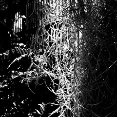 Despite all of the darkness (Dom Guillochon) Tags: nature time life existence reality dream photosynthesis noiretblanc plants darkness light