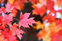 autumn blaze maple tree (Acer freemanii Jeffsred) at Lake Meyer Park IA 854A7820 (lreis_naturalist) Tags: autumn blaze maple tree leaf fall foliage acer freemanii jeffsred lake meyer park winneshiek county iowa larry reis