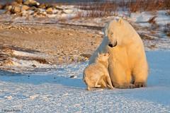 churchill-2016_DSC4327c2 (Marco Pozzi photographer (800k+ views, thanks)) Tags: polarbear bear eskimodog dog friends canedaslitta orso orsopolare orsobianco churchill manitoba canada marcopozziphotographer marcopozzi pozzi specanimal