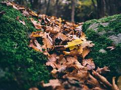 leafs (Joerg Esper) Tags: plaidt rheinlandpfalz deutschland de foliage leafs leaf blätter blatt laub moss moos herbst autumn fall olympus olympusomdem1 olympusmzuikodigital17mm118 natur nature