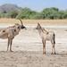 Pferdeantilopen / Roan Antelopes