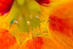 Macro (Elo_M.) Tags: fleurs macro suisse valais voyagesweekends zollingersamen capucines colorful color lesevouettes