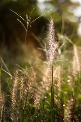 In light (Kynt87) Tags: ear plant spike grass light outdoor canon eos 5dmarklll ef50mm f18ii