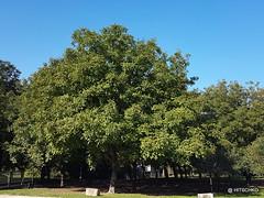 Noix de Grenoble: Nussbaum im vollen Ertragsalter. (HITSCHKO) Tags: noixdegrenoble echtewalnuss juglansregia laubbaum walnussgewchse juglandaceae walnuss walnussbaum baumnuss nutzpflanze nutzholz isre drme savoie france frankreich larivire grenoble