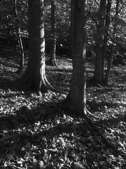 Serious moonlight (baro-nite) Tags: trees beech fagus enoriver iphone bw affinityphoto